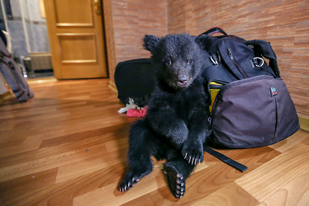 A two-month-old brown bear cub in the apartment of Olga Shchetinina, in Blagoveshchensk. The cub was left at the Ostrov Spaseniya animal shelter and later taken home by Shchetinina.