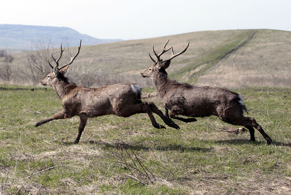 Sika deer run after being released from a nature reserve on Strizhament mountain, south of Stavropol