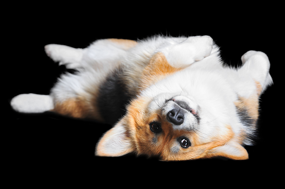 Moscow police plans to employ Corgi dogs in the service.