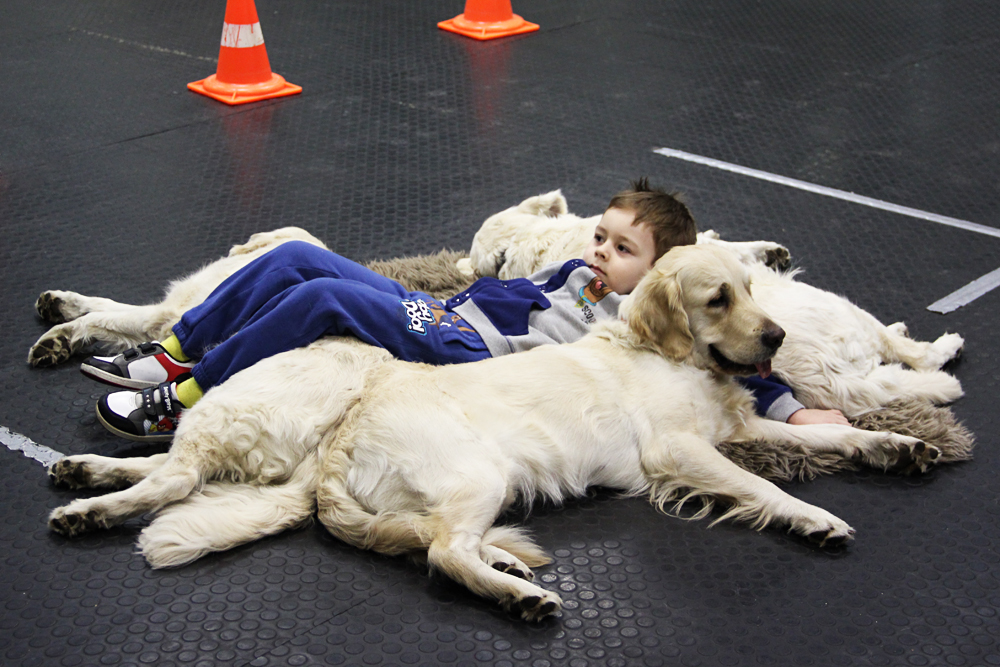 Parte da cão-terapia coloca a crianças deitada em um carpete rodeada por cães da raça golden retriever.