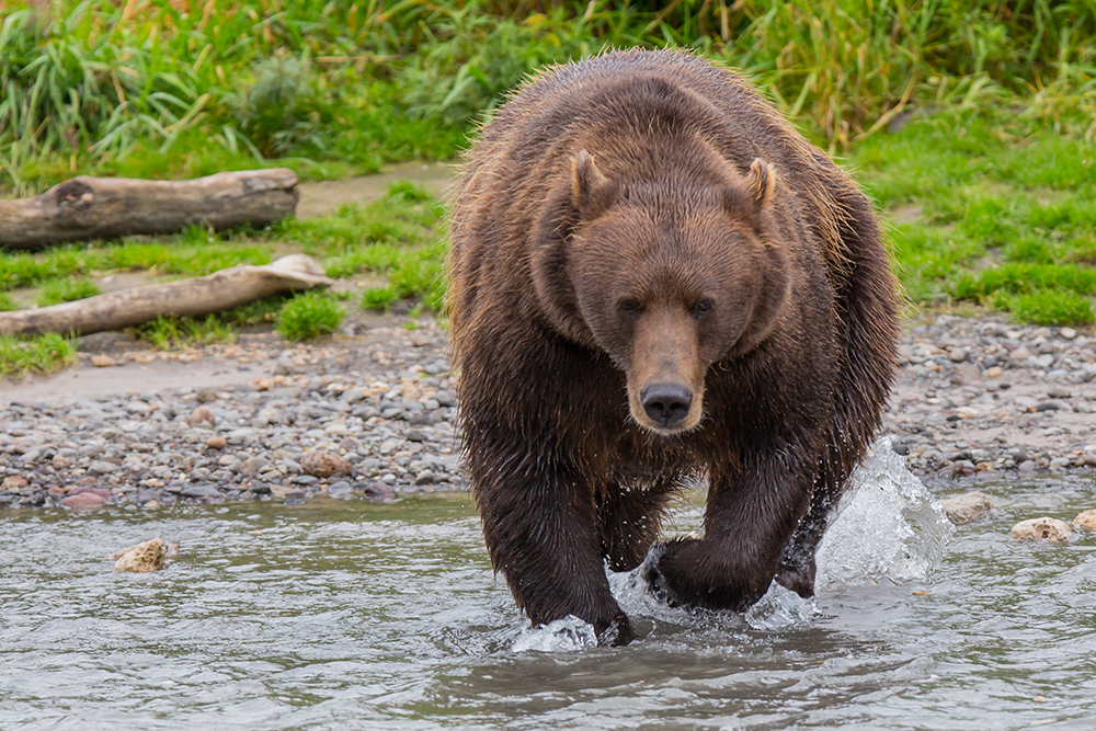 "Environmental inspector and wildlife photographer Igor Shpilenok writes in his book, ""Kurile Lake,"" that while circling the lake by boat he managed to see about 100 bears in one day."