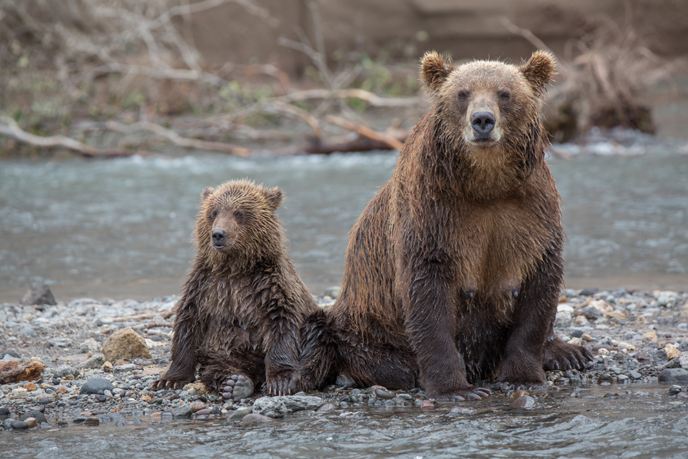 This comes as no surprise, since Kamchatka is the only region in the world that provides bears with the three main pillars of their diet: berries, cedar nuts and salmon.