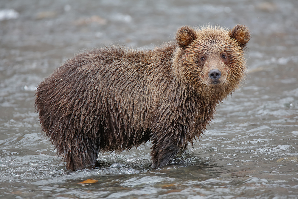 Among the bears of Kamchatka the ones that live around Kurile Lake are the luckiest, as this is one of the rare places where it is possible to easily access large amounts of high-quality protein-based food.