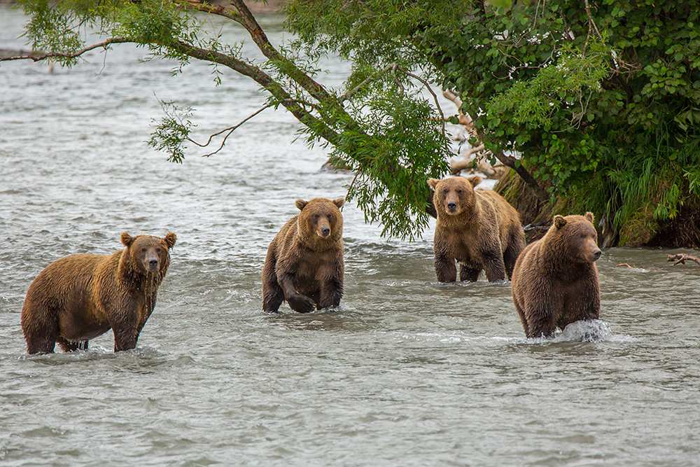 That is why brown bears feast at the lake from June until their winter hibernation.