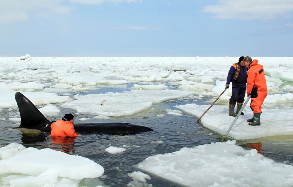 Спасување на китови-убијци заробени од ледени санти во Охотското море. Припадниците на Министерството за вонредни состојби на Русија спроведуваат операција за спасување на четири орки на истокот на Сахалин.