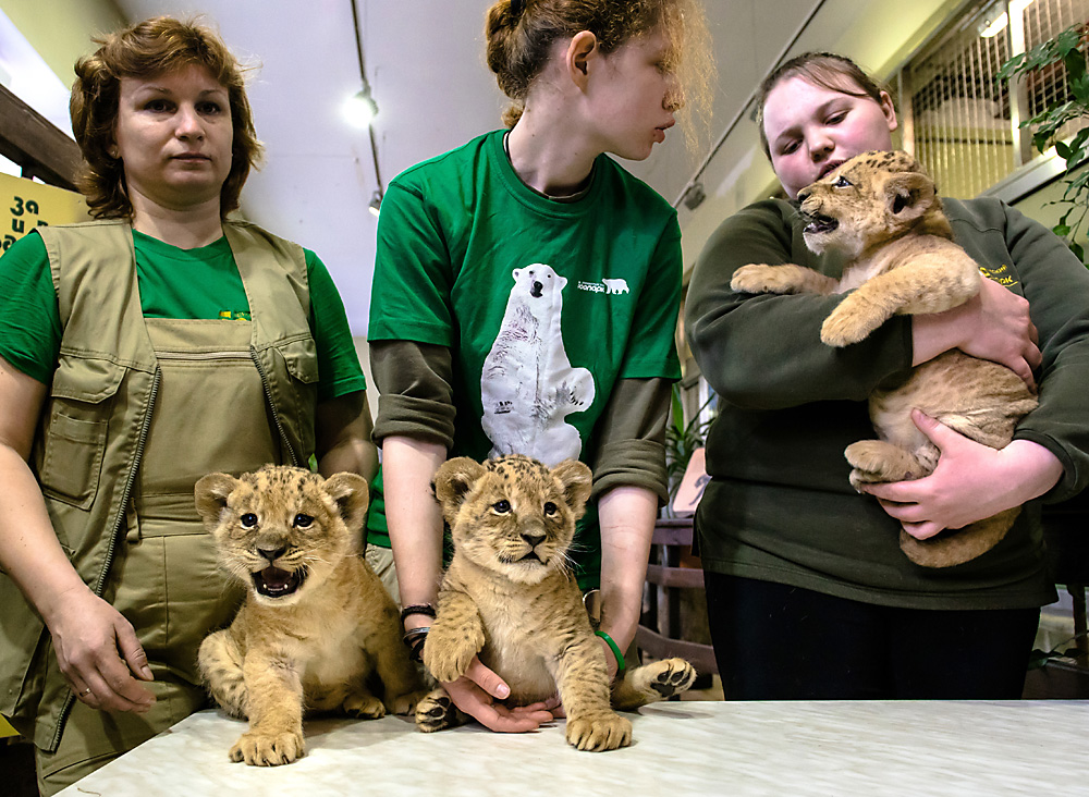 Employees at the Leningrad Zoo (St. Petersburg) demonstrate three new lion cubs born to the Lion Adam and Lioness Tasi on March 15, the first addition in 20 years.