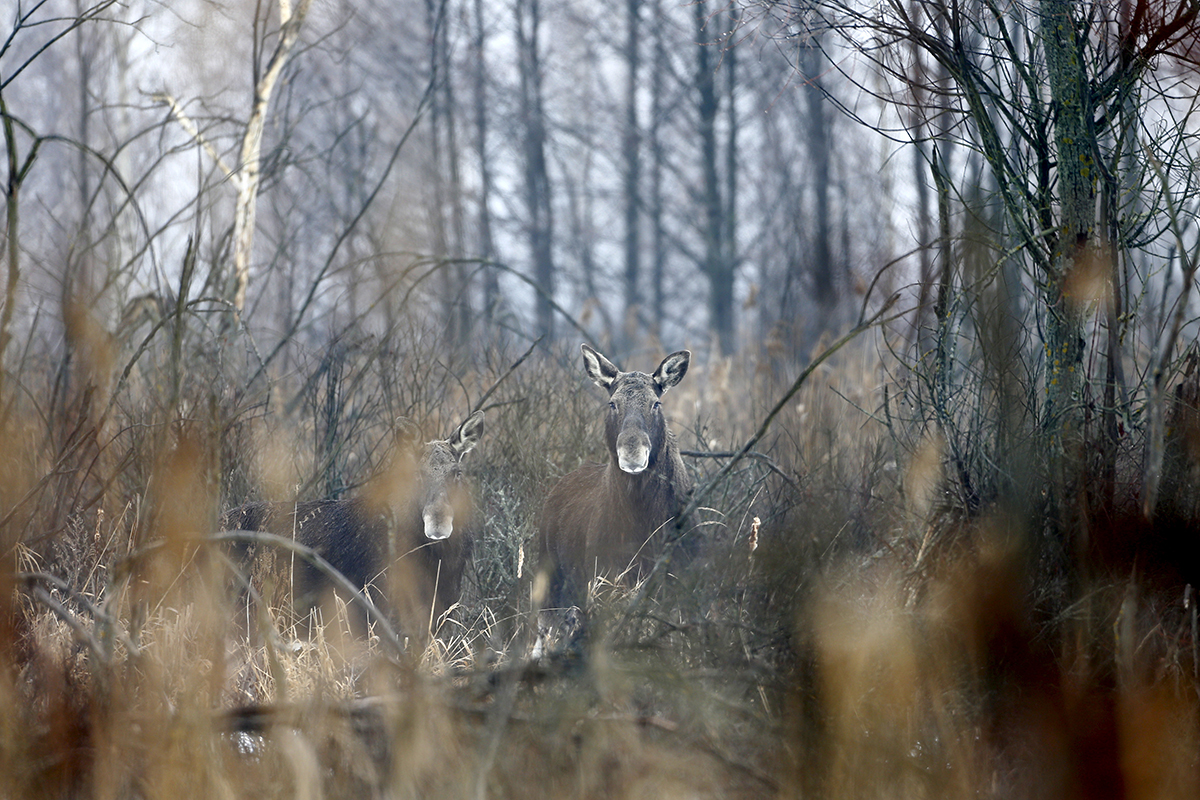 Elks are seen near the abandoned village of Dronki, Belarus. Wild animals are now the sole occupants of the exclusion zone around the Chernobyl nuclear reactor, roughly the size of Luxembourg. The population of wolves and elks has boomed in the past 30 years here.