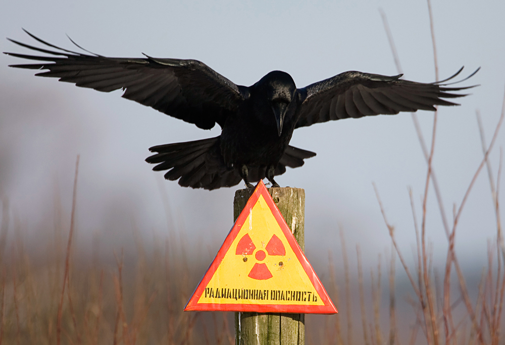 "A raven stretches its wings as it sits on a post inside the 30 km (18 miles) exclusion zone around the Chernobyl nuclear reactor near the village of Babchin, some 370 km (217 miles) southeast of Minsk, December 23, 2009. The sign reads: ""Radiation hazard"""