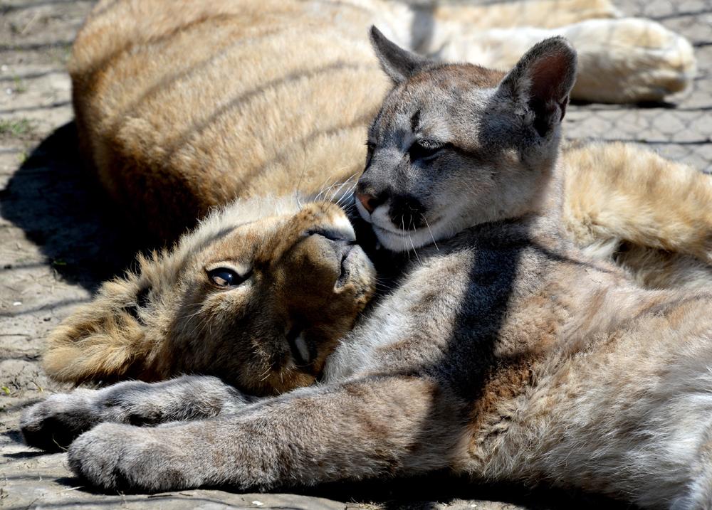Das Löwenjunge Aristo und der kleine Puma Prinz Foru sind enge Freunde. Die zwei leben im Zoo des Dorfes Borisowka, in der Region Primorje.