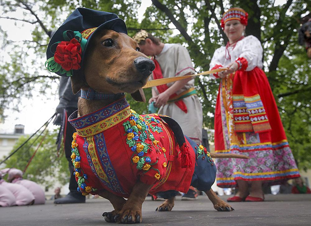 Куче, облечено в руски традиционен костюм, на парада на дакели в Санкт Петербург.