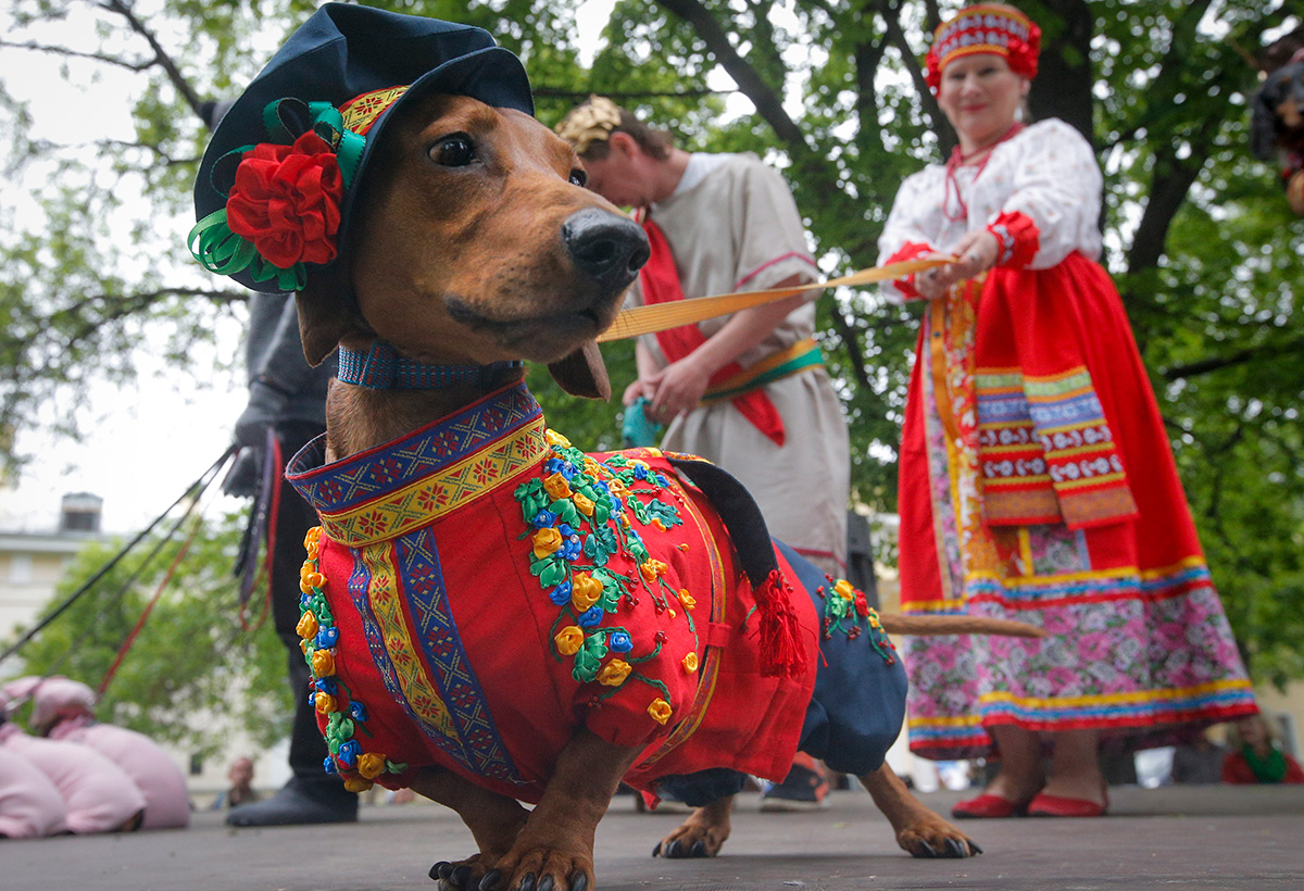 The dachshund parade is not a traditional dog show; it is a large celebration with many participants each year showing off the maddest, funniest, and most bizarre costumes ever put on a dog.