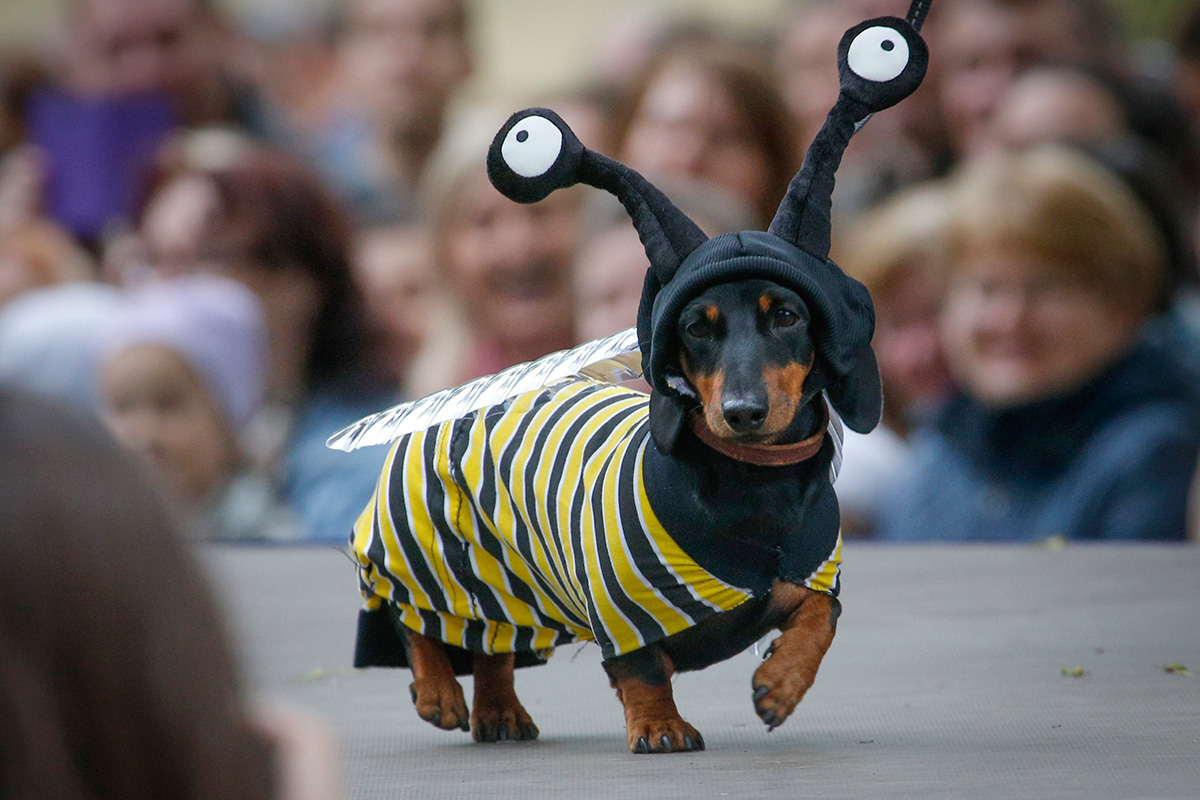 Sometimes dogs are dressed as insects. This pretty dachshund is pretending to be a bee…