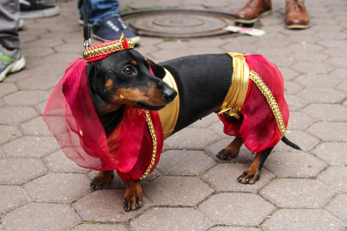 This event is held annually at the end of May. For 5 years in succession hundreds of dachshund owners have come to St. Petersburg to dress up their dogs and march in the parade.