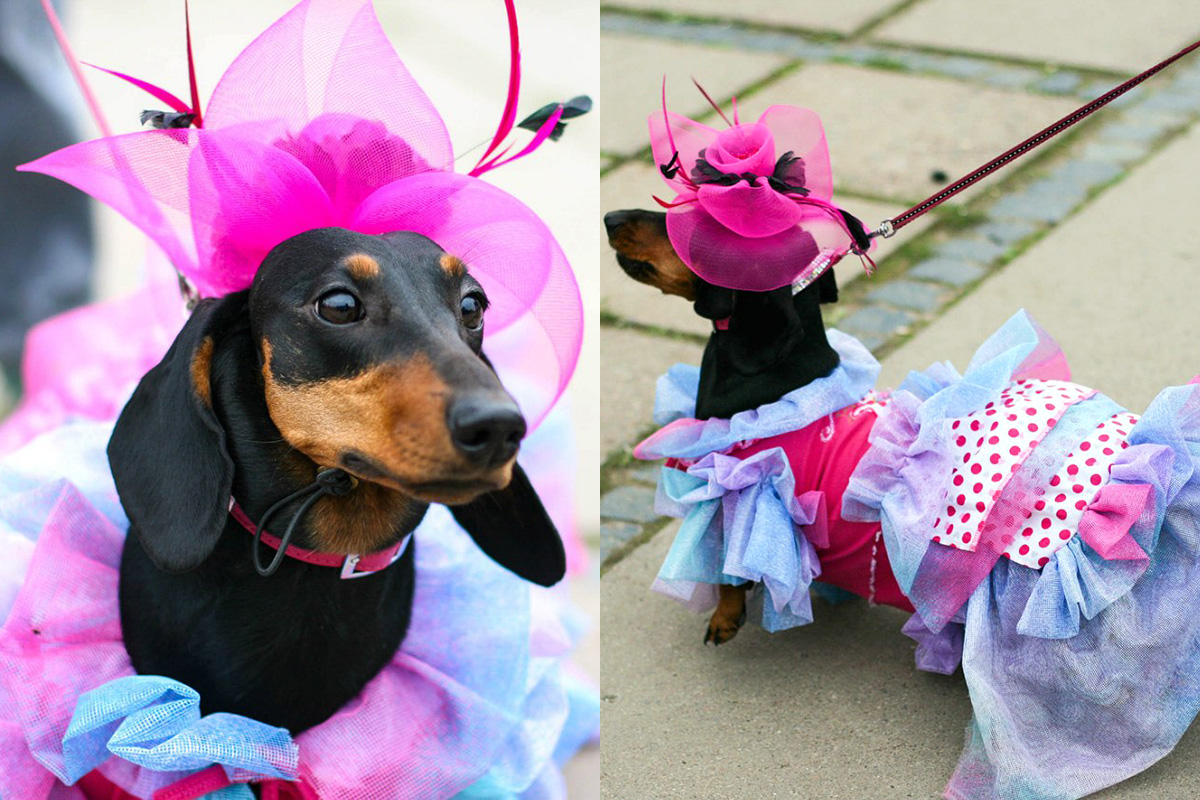 Owners often sew the canine costumes themselves. You won't find them in the stores – winning requires originality.