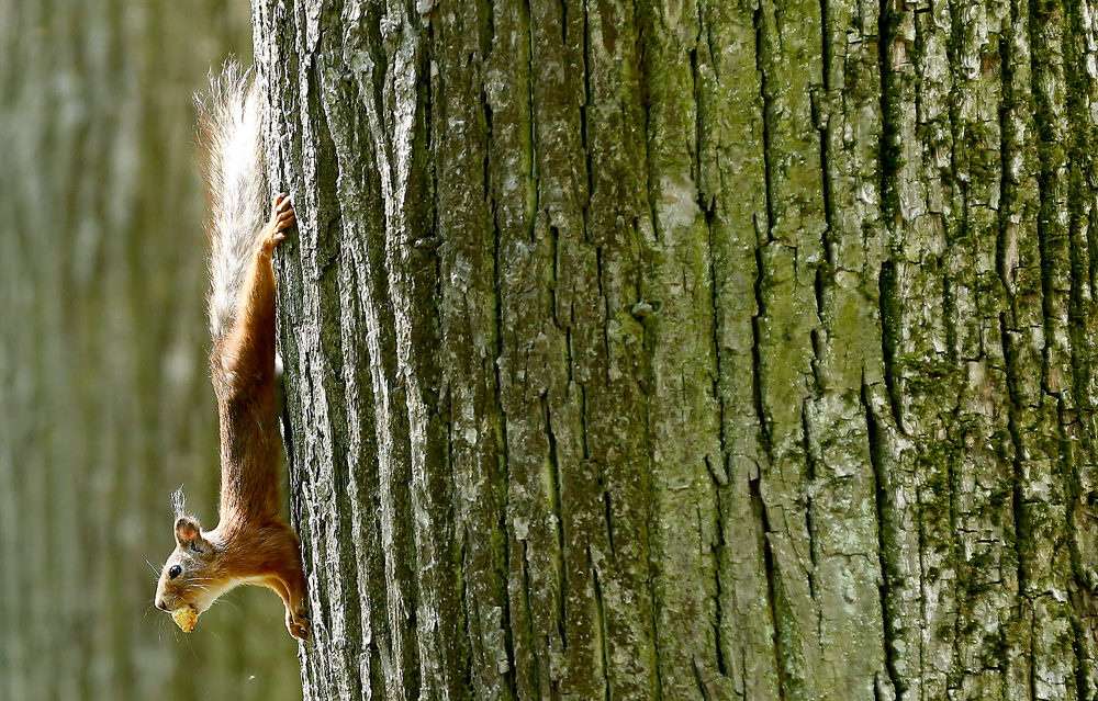 A squirrel in Ostafyevo park, on the first day of the summer in Moscow, Russia