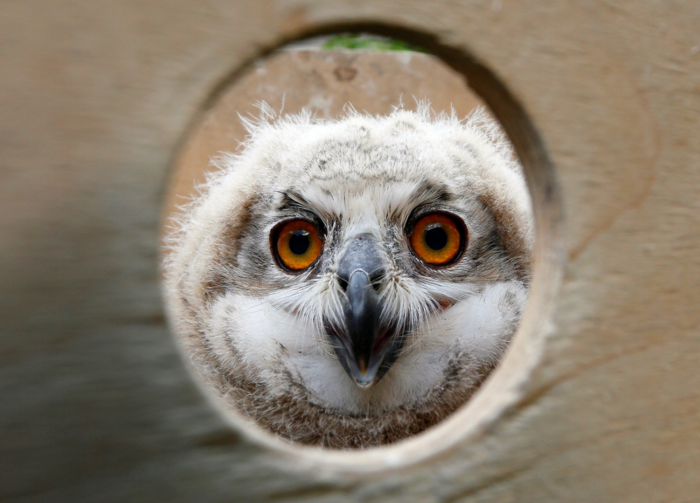 A 3-week-old Eurasian eagle owl looks out of a wooden box at the Royev Ruchey zoo on the suburbs of the Siberian city of Krasnoyarsk, Russia