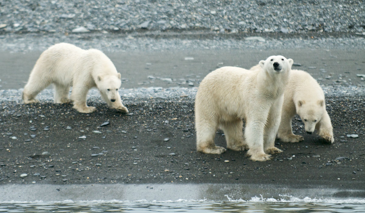 And here, under a layer of snow many metres thick, protected from the fierce December blizzards and frosts, tiny, blind and defenceless cubs (weighing just 400 grams) are brought into the world. These cubs eventually turn into one of world's biggest and most feared predators – the polar bear.