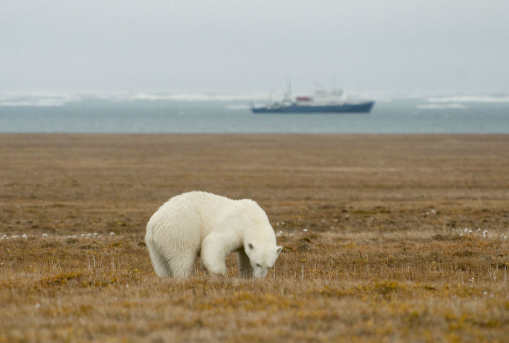 A. TERAUDSEvery year about 500 polar bears build dens and give birth in these nature reserves. Some parts of the island have the highest concentration of polar bear dens in the world: with up to 4-5 in each square kilometre.