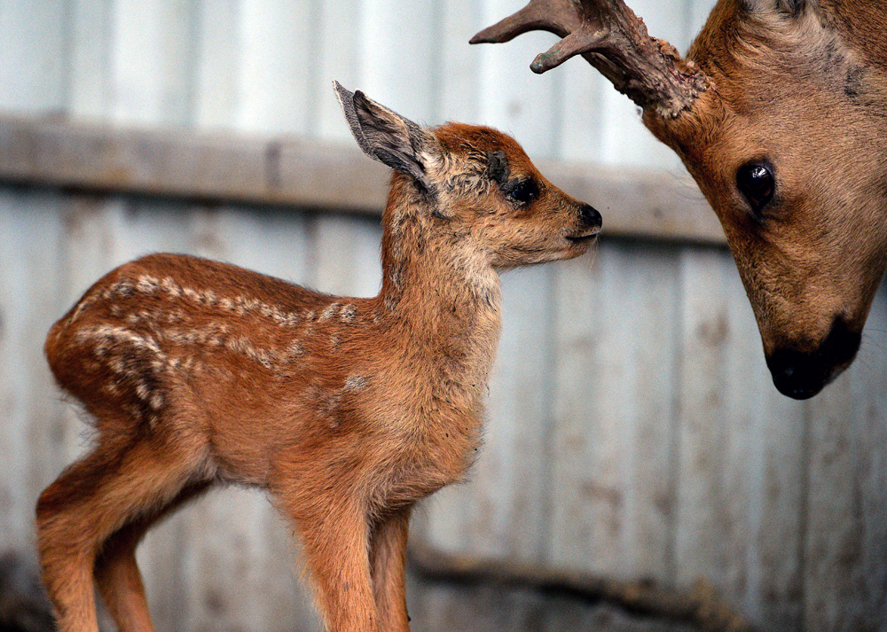 A roe deer with a calf in the Sadgorod Zoo in Vladivostok