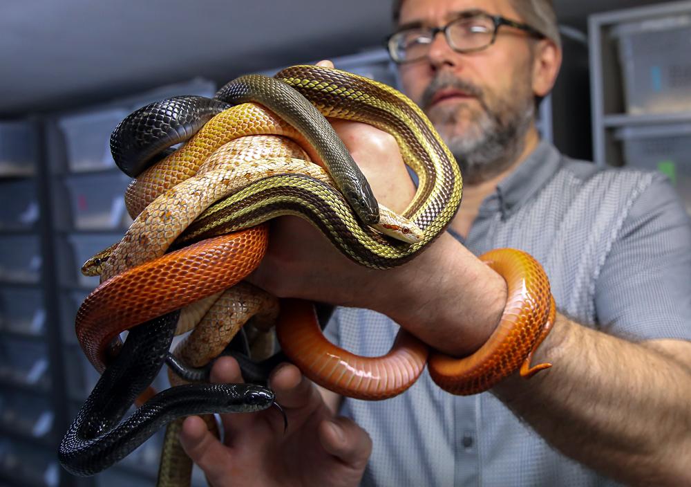 Serguéi Riabov, del Centro de Reproducción de Especies Raras del zoo de Moscú, con serpientes.