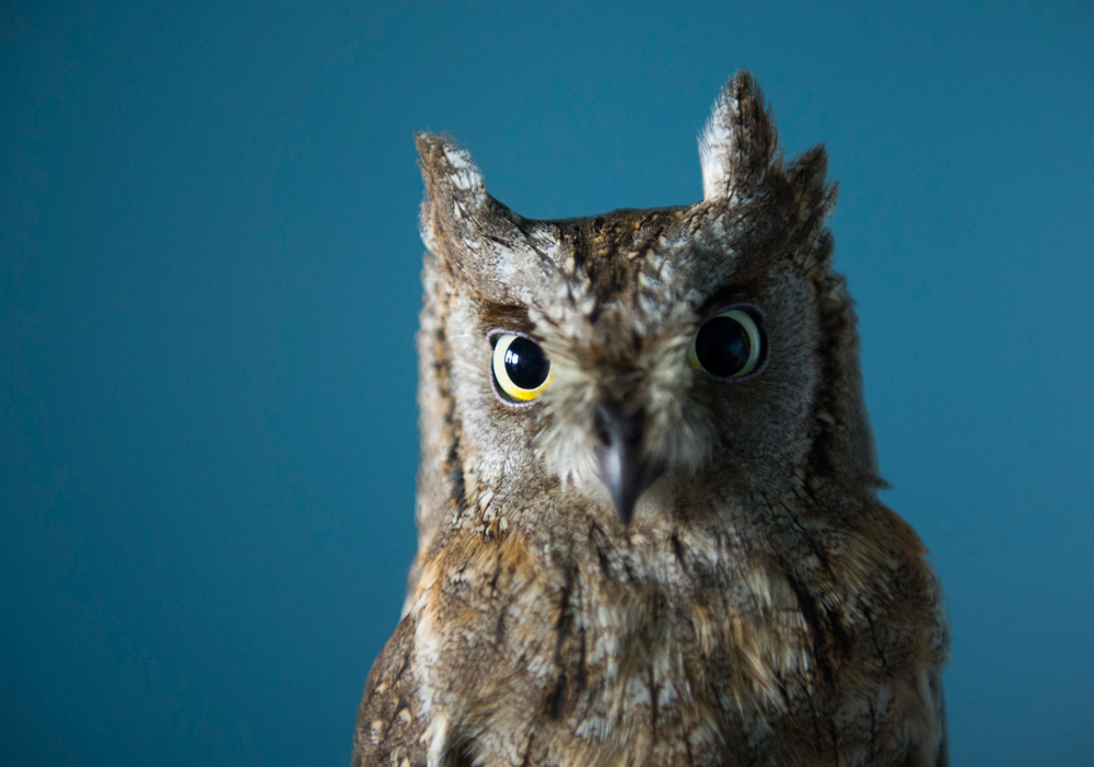 Scops owl looks into the camera in the birds of prey rehabilitation centre in Berdsk.