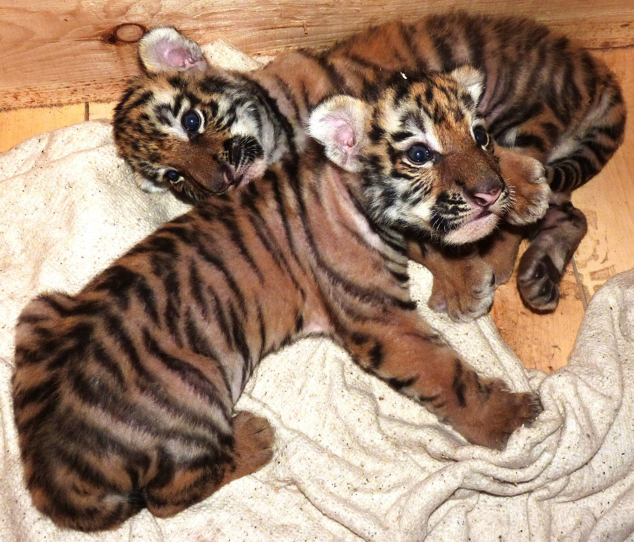 Newborn Siberian tiger cubs at the Bolsherechensk zoo.