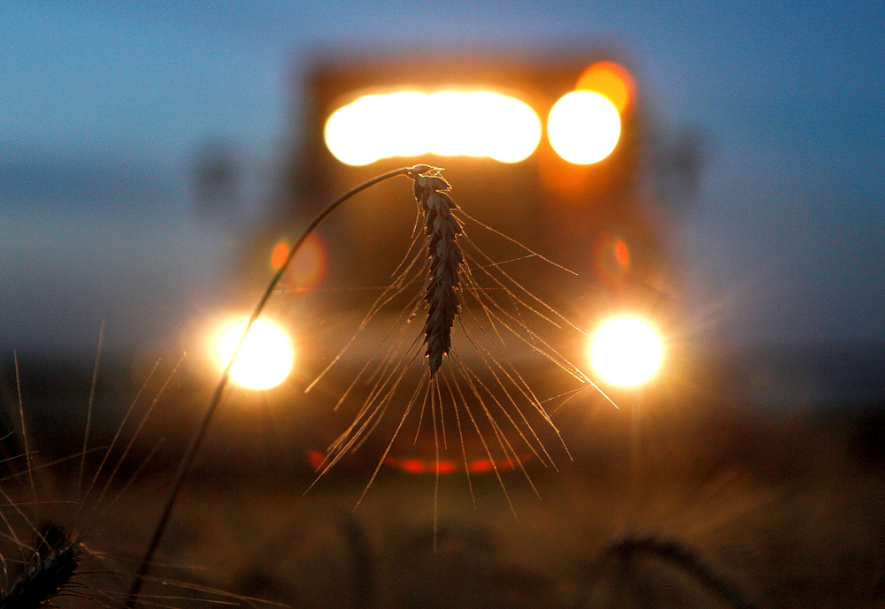 A combine harvests wheat in a field in the settlement of Novokavkazsky in the Stavropol region, Russia.