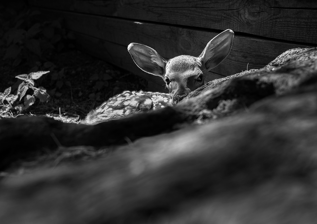 "For the workers at the zoo, the animals are like family: they are the first to welcome them into this world, they take care of them and, when the time has come, they are the last to say goodbye. // A newborn Sika deer hiding behind a stump. Sergey Kolyaskin: ""I was one of the first to lay eyes on him. He was born only a few hours ago, but he can already run."""