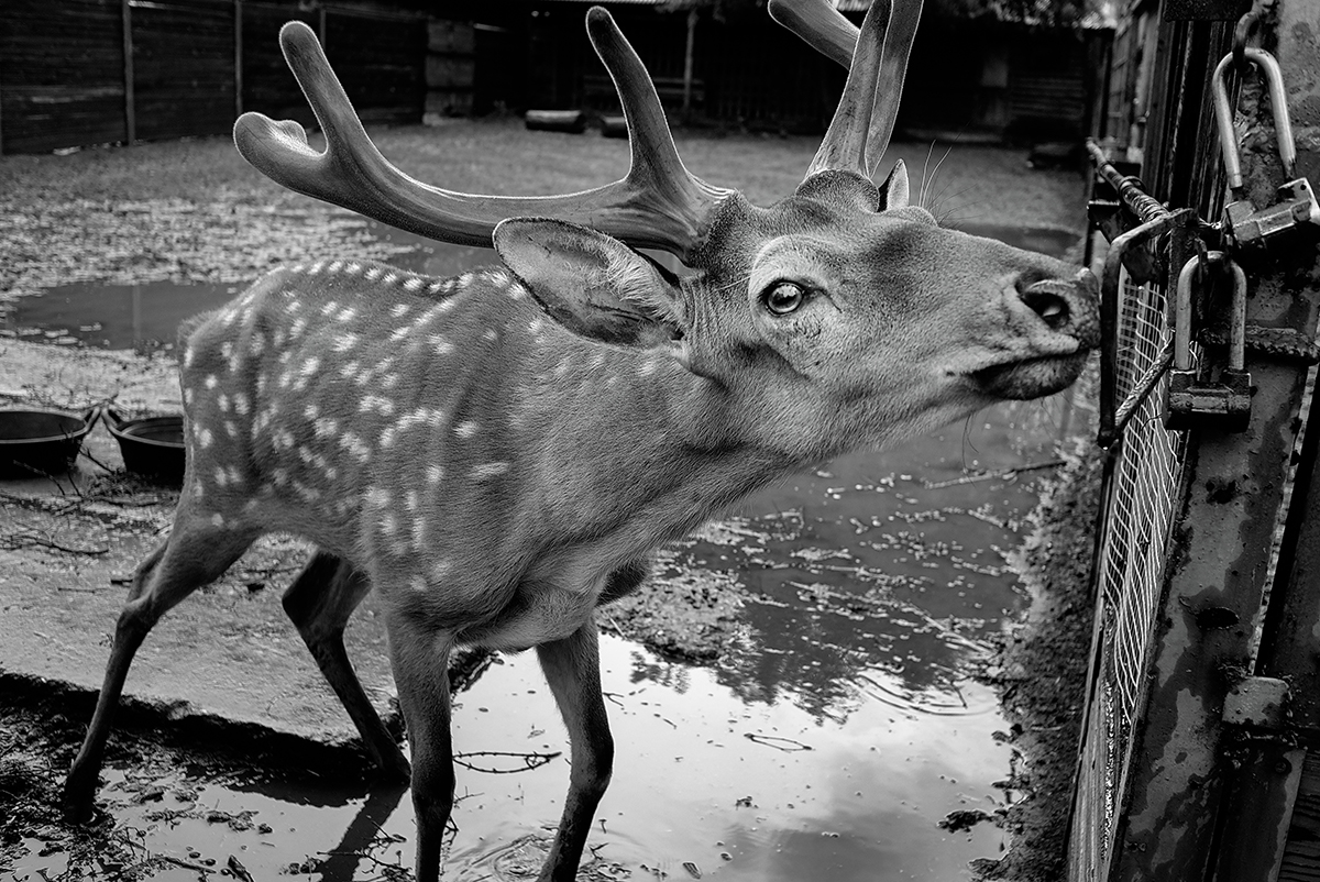 "Since 2006-2007 the park has been gradually restructured to keep up with the European ""open zoo"" concept: a place where animals live in enclosures rather than in cages. However, the reality is often somewhat different. Enclosures for deer are narrow and old, and many get flooded, which makes them difficult to clean. // A 15-year-old male Sika deer named Nick"