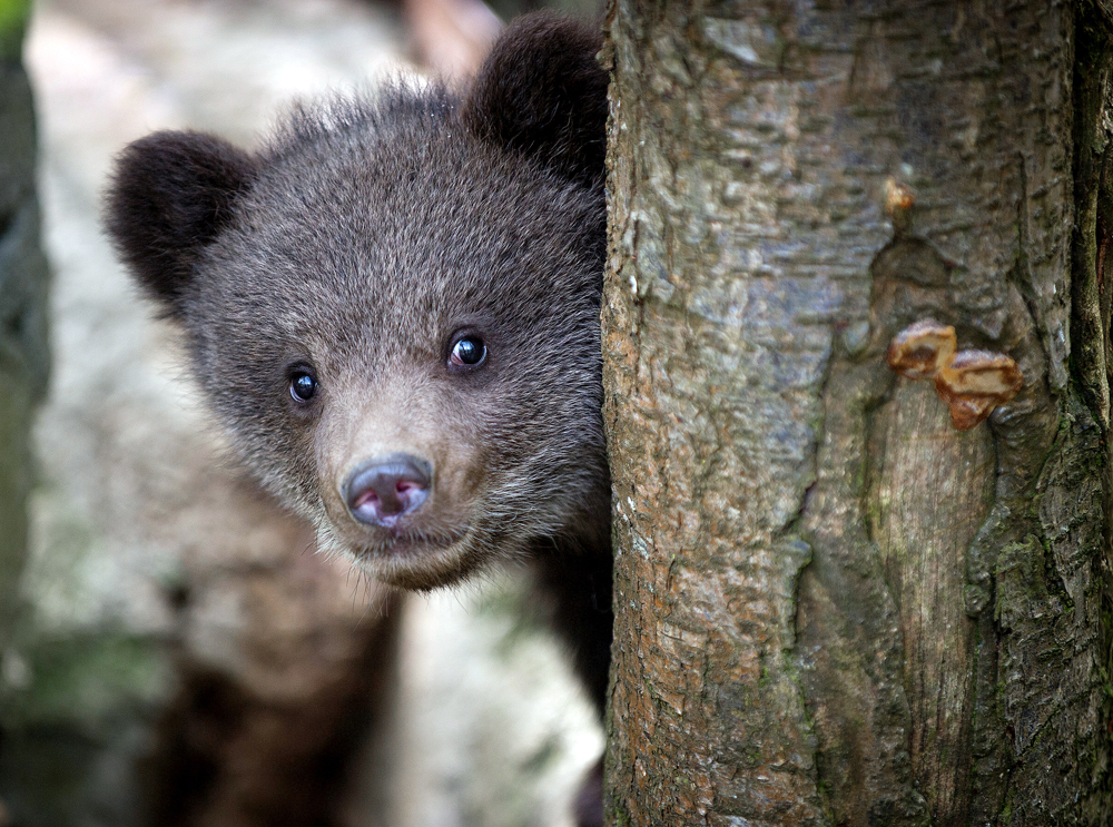 It was reported that a small bear recently visited a woman living in the Kemerovo Region.