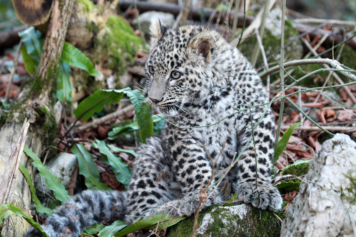 All of leopards recently released into the Russian wilderness were bred at the center in Sochi.