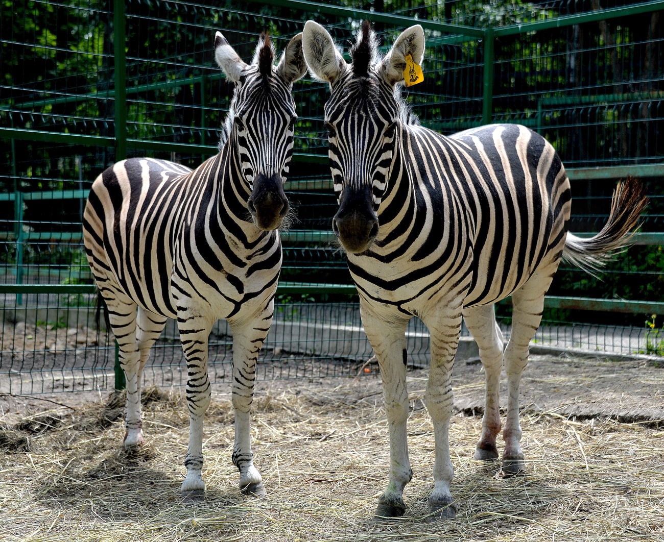 Young zebras Zoya and Zina that have been brought to Sadgorod private zoo in Vladivostok from the zoo in Stary Oskol