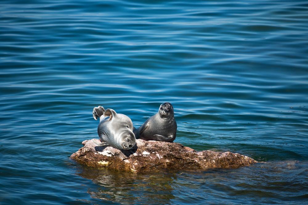 Anjing laut adalah satu-satunya mamalia yang menghuni Danau Baikal dan Danau Ladoga.