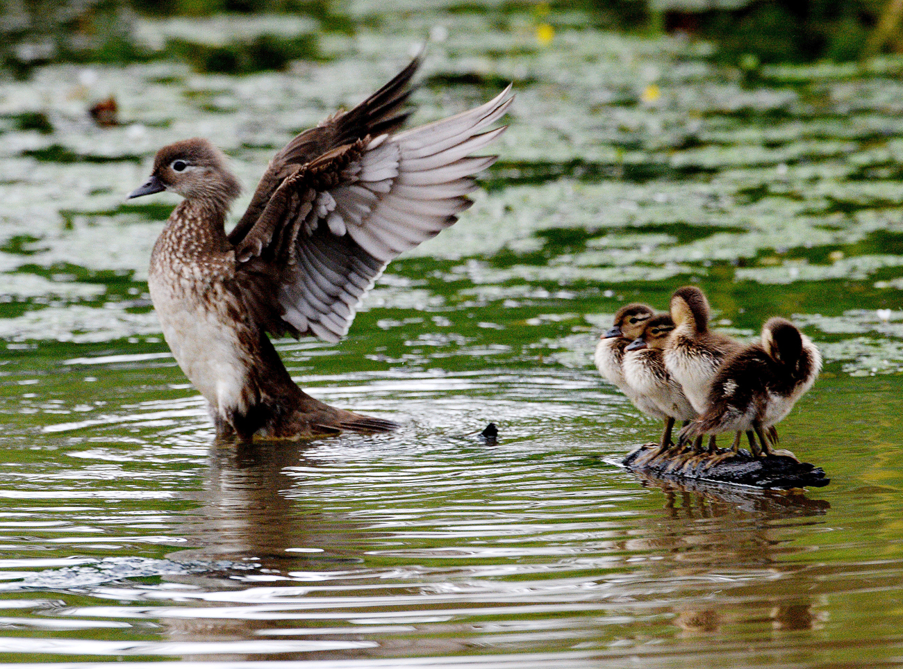 A Mandarin duck with ducklings on a pond in Vladivostok