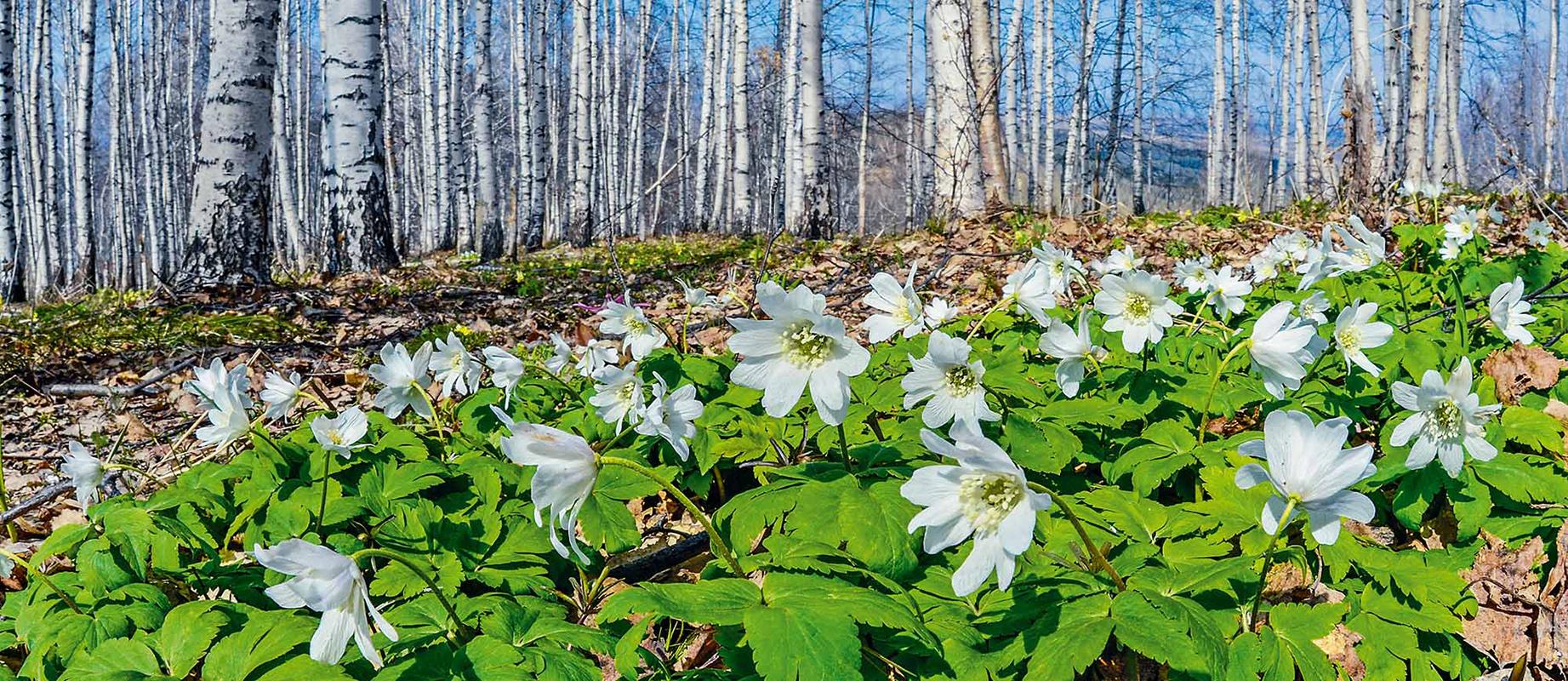 Ríos intactos, lagos asombrosos y bosques de pinos llenos de sonidos que ayudan a relajarse a los habitantes de las grandes ciudades.Lea más: Las montañas de Altái, un santuario de la naturaleza