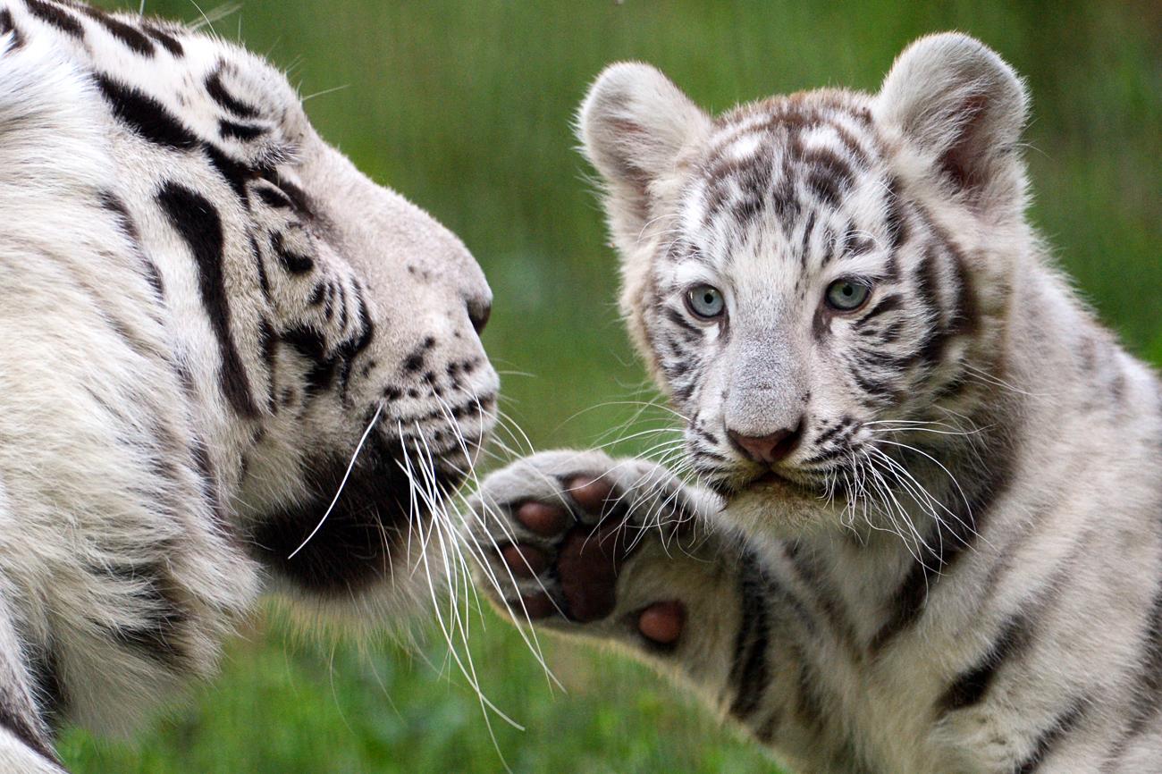 White tiger cub born in Novosibirsk Zoo . Белый бенгальский тигренок со своей мамой в вольере Новосибирского зоопарка имени Р.А. Шило. Детеныш родился у белого бенгальского тигра Зао и тигрицы Зайки 21 июня 2016 года.