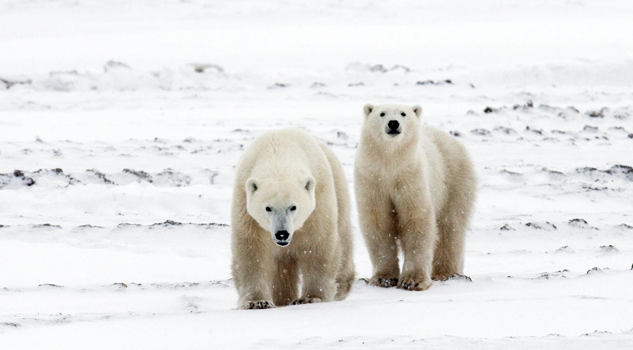 Les deux ours polaires.
