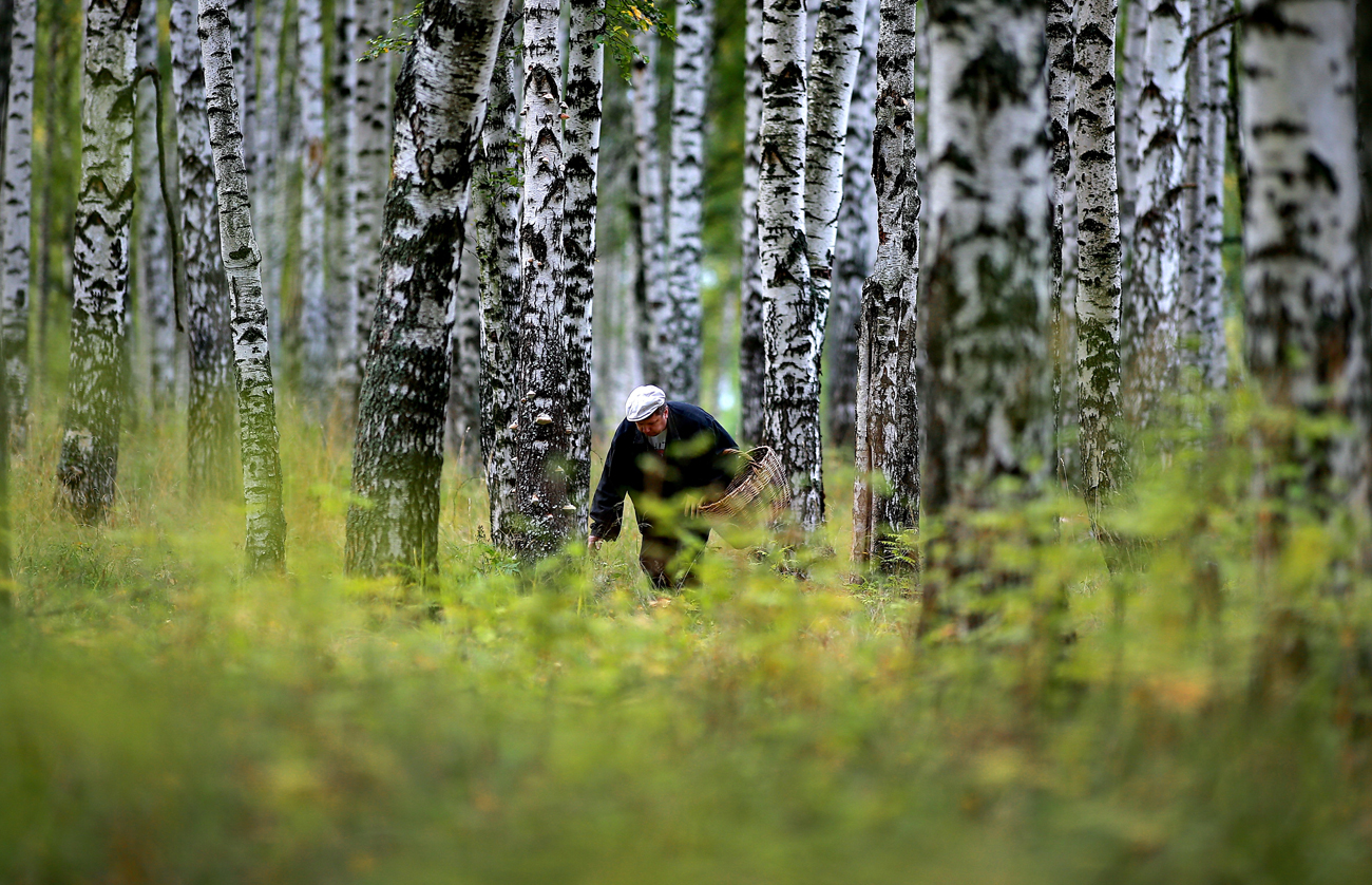 IVANOVO REGION, RUSSIA - SEPTEMBER 14, 2016: A man picks mushrooms in a forest.