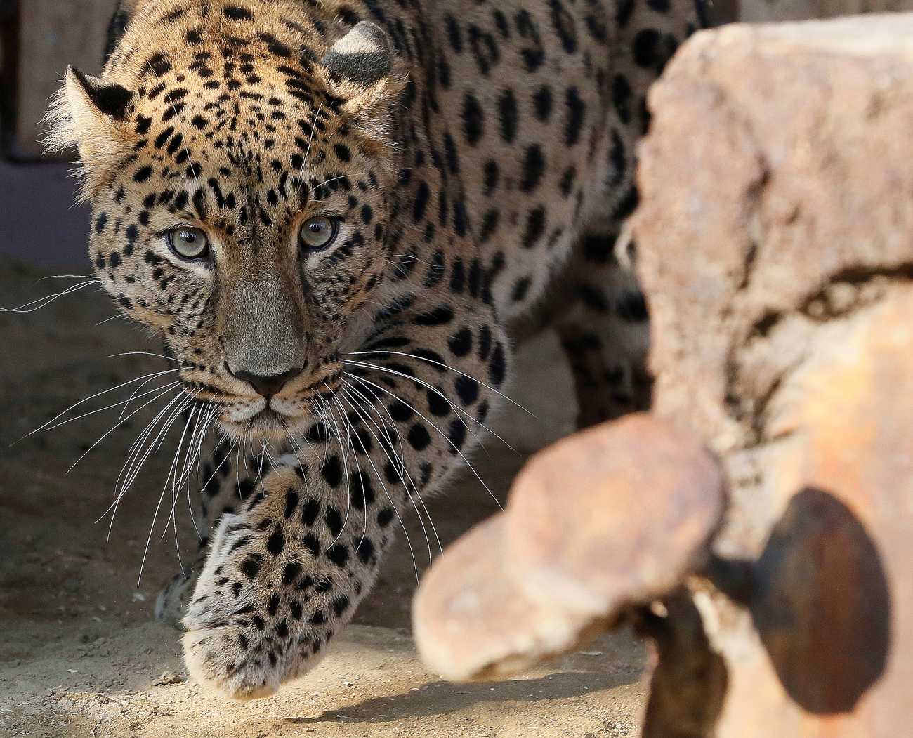 Amur leopard or Far Eastern leopard named Kirin, a 7-year-old male born in the Prague Zoo and transported to Krasnoyarsk in August, walks at its new enclosure after a quarantine, at the Royev Ruchey Zoo on the suburbs of the Siberian city of Krasnoyarsk, Russia