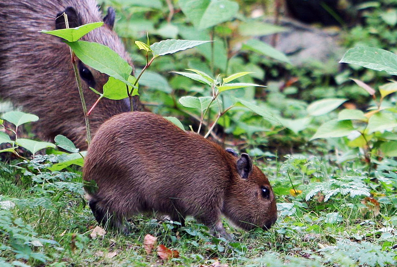 Capybaras in the Kaliningrad Zoo