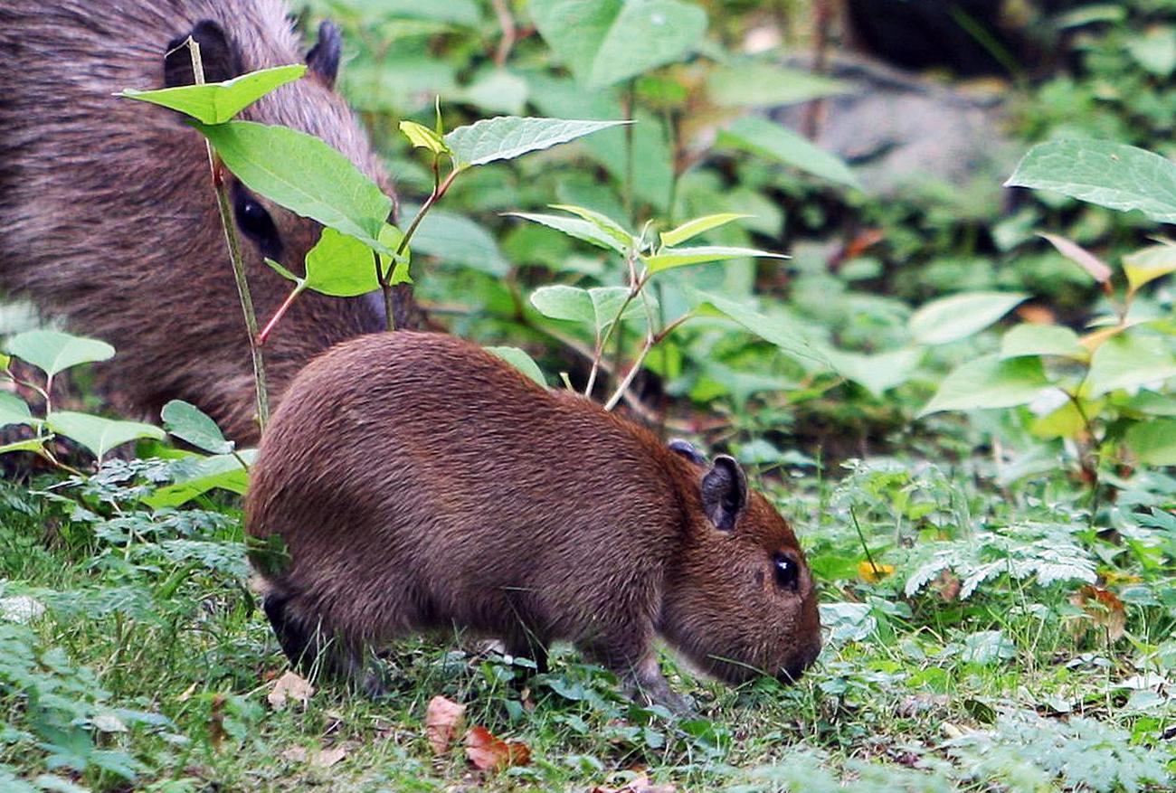 Capybaras in the Kaliningrad Zoo