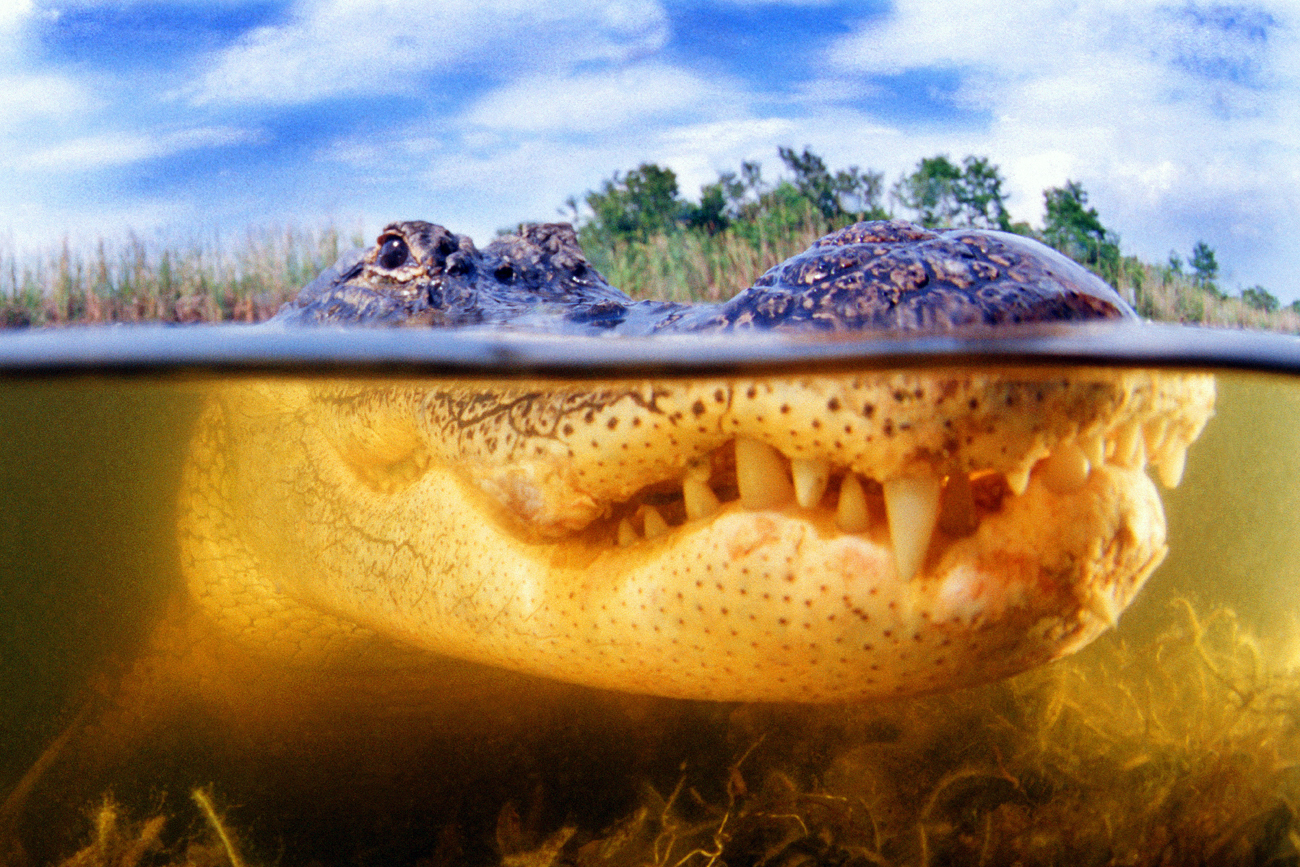 Russia is an importer of alligator meat from the Philippines.