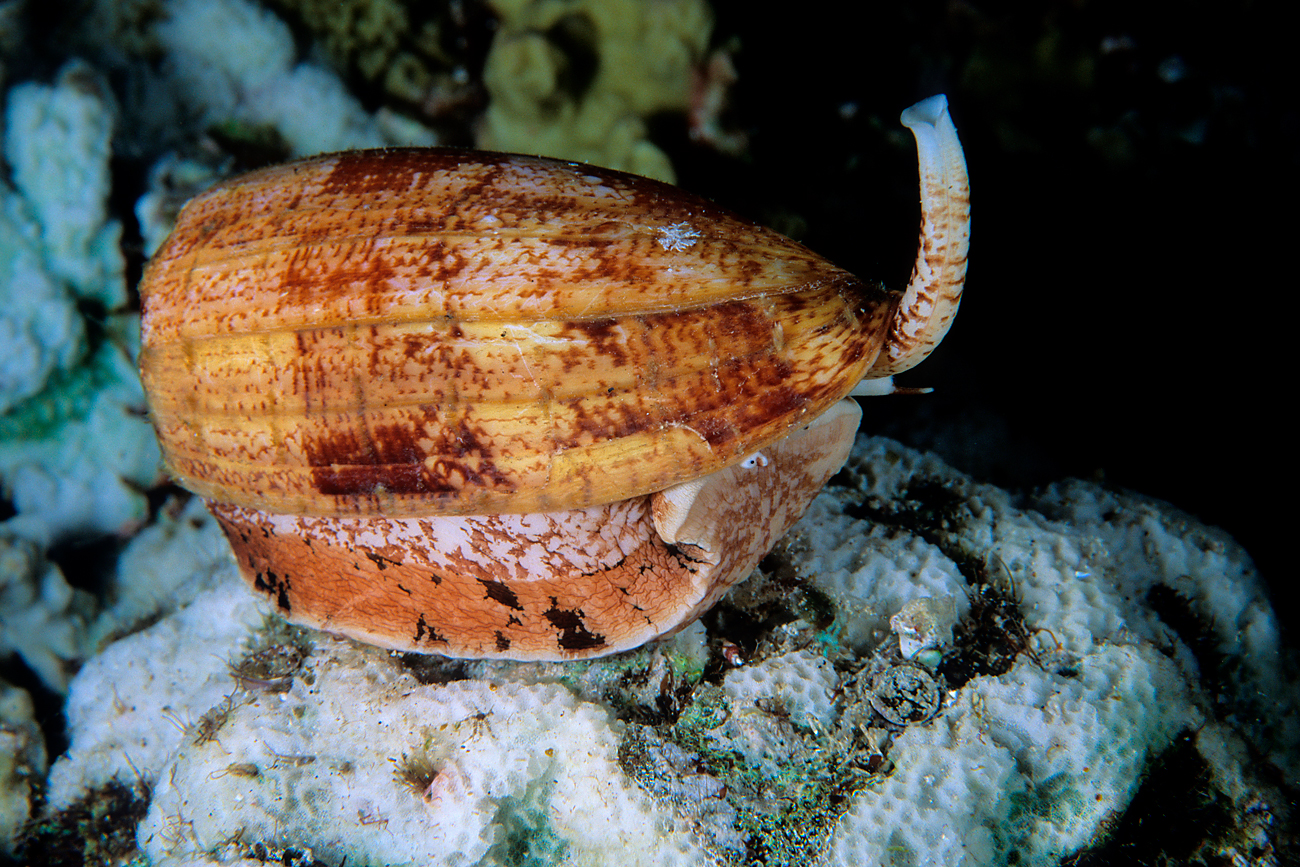 Scientists believe that eventually the new generation anesthetic will replace opiates. Photo: Geographic Cone snail.