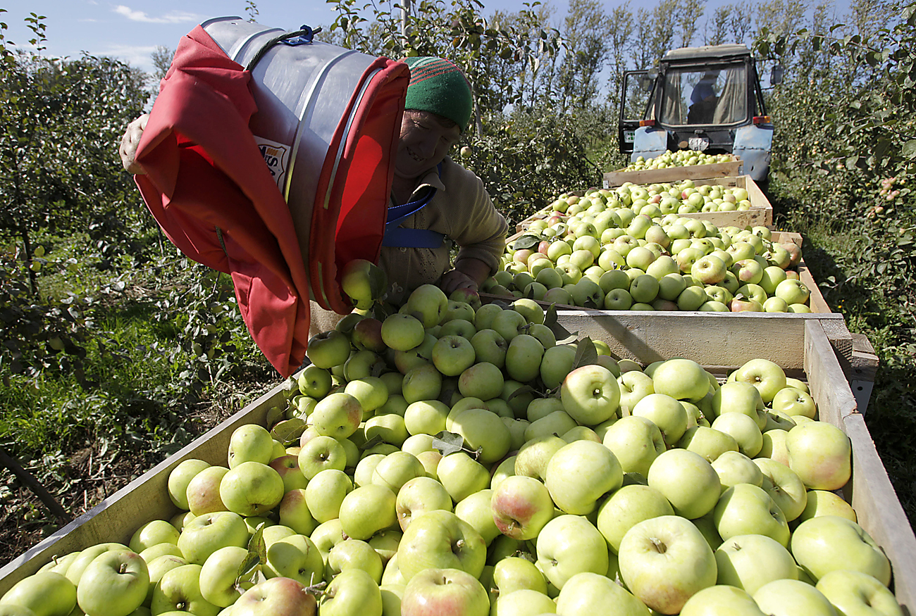 Apples harvested in the orchard of an agricultural enterprise outside the village pf Yarkovo, Minsk District.