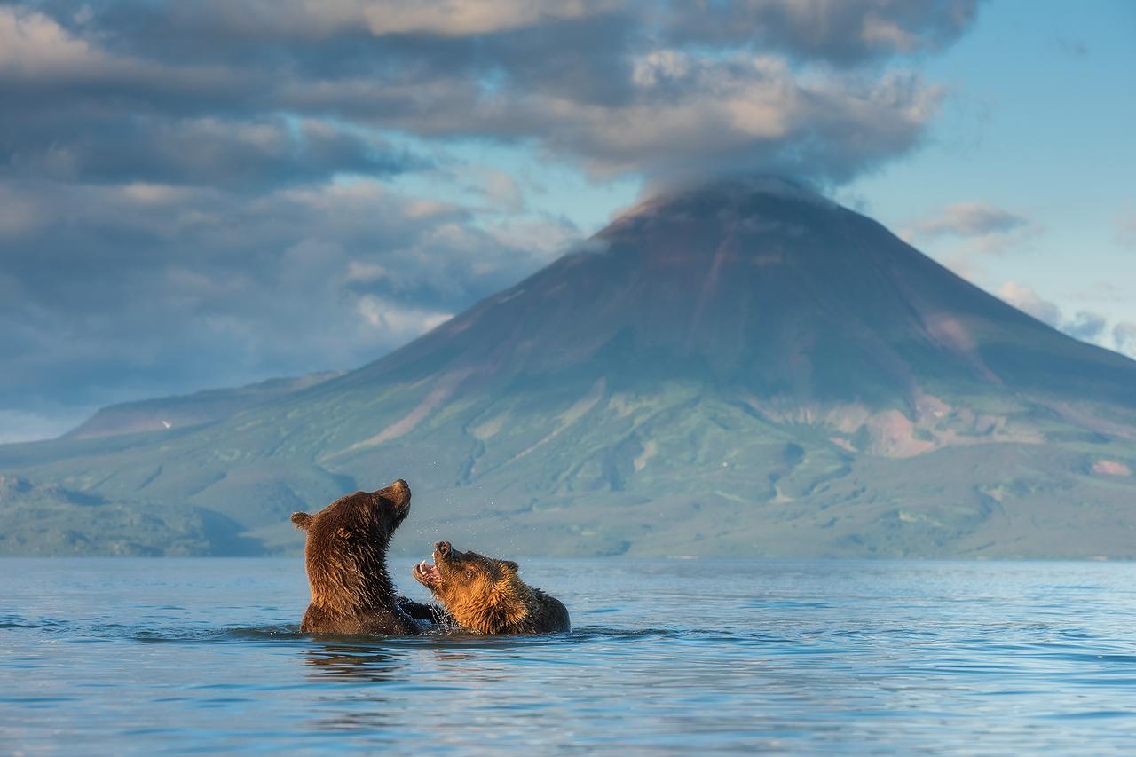 Amor Selvagem? Ao contrário do que possa parecer, esses ursos não estão brigando, mas sim namorando no lago Kurile, com o vulcão Ilyinsky como cenário ao fundo.