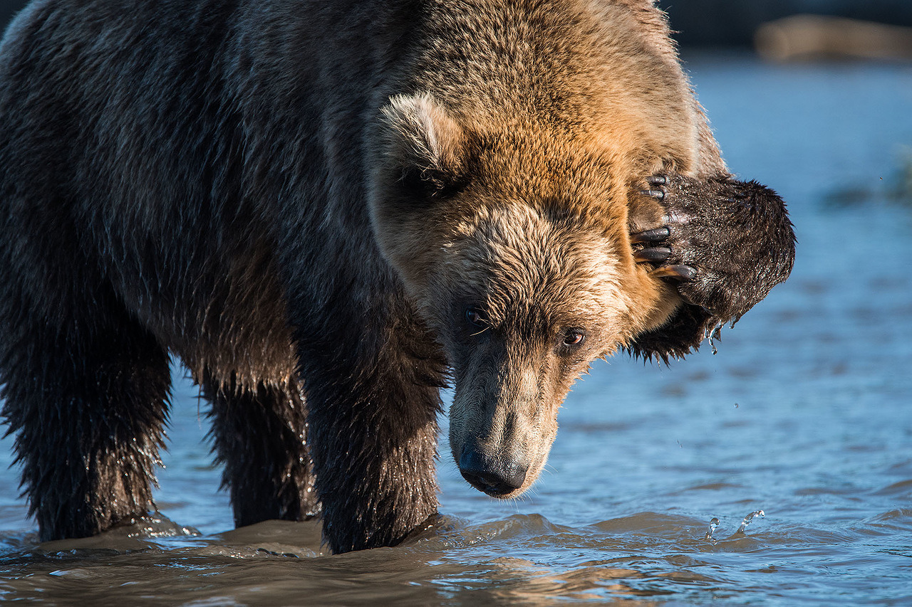 クリリスコエ湖は貴重な生態系の環境である。ほんの数メートルの距離から、自然環境にいるクマを安全に撮影できる。これは、わずか5メートルの距離から、水浴びをするクマを撮影した画像。