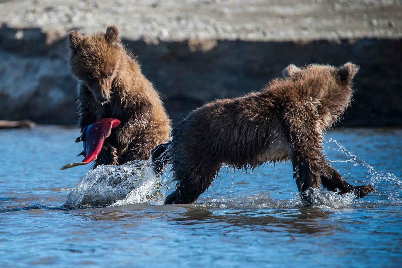 """Uma delas são os ursos que habitam a região. Nesta foto, ursos jovens caçam peixes no rio Khakitsin, que deságua no lago Kurile. Poucos minutos antes desse clique, um deles havia capturado seu primeiro salmão vermelho, no entanto, atrapalhou-se todo tentando abordar o enorme peixe e eventualmente deixou o animal cair de volta na água. Mais esperto, um de seus irmãos não deixou, porém, que o peixe escapasse. Mesmo assim, parece agora dizer: """"O que eu fiz? E que faço agora?""""."""