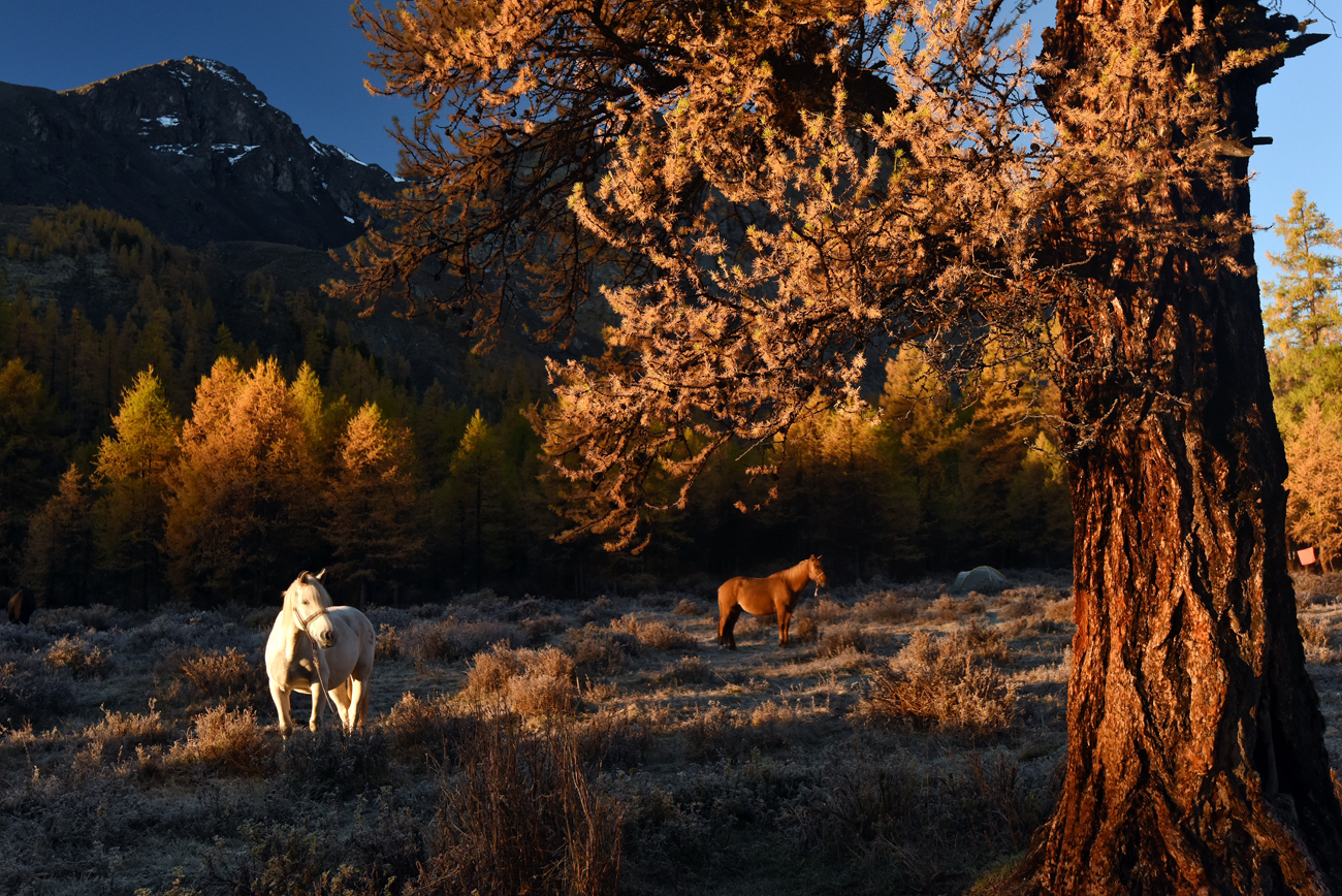 Horses graze in the Karakabak River valley of the North Chuya Mountain Range in the Altai Republic