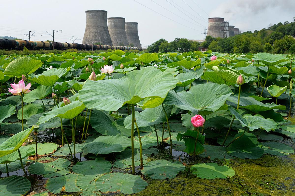 Lotus blossoming in power station lake. Yuri Smityuk / TASS. See more...