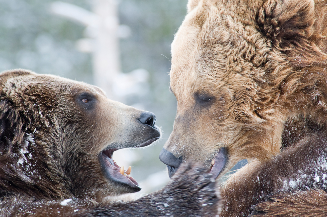 Find out how to tell an American bear from a Russian one!